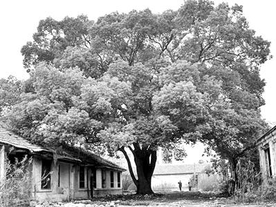 让我们共同保护岛上的每棵大树_崇明新闻_崇明家园网.